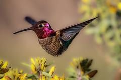 The hovering act (bodro) Tags: annas bolsachica hummingbird bird birdinflight ecologicalreserve hovering male wetlands