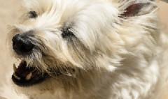 "a ""bit"" byte off HSS :-) (Dotsy McCurly) Tags: ruffy cute dog cairnterrier smile smiling bit byte off happysliderssunday photoshop art nikon d750 nj"