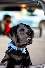 Pup (Thomas Hawk) Tags: bailey eastbay blacklab dog labrador puppy fav10 fav25 fav50 fav100