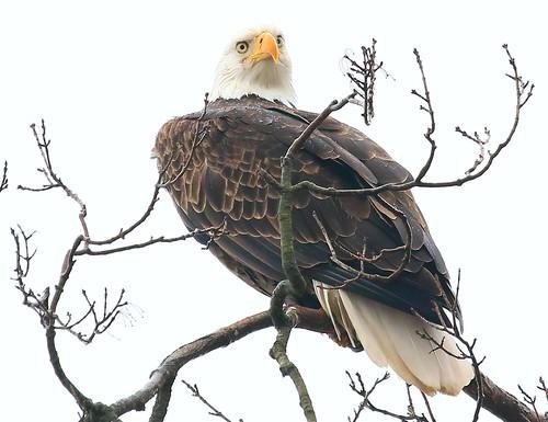 bald eagle at Decorah Fish Hatchery IA 854A7212