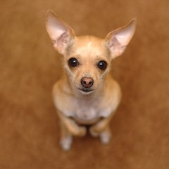 Begging (natural gas) Tags: dog chihuahua d70 buffy 50mmf18d nikonstunninggallery