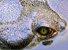 Tear at will... (Pandiyan) Tags: eye water close croc crocodilian pandiyan chennai pupil ocular optic gharial cornea mcbt crocodiletears nictitation nictitatingmembrane