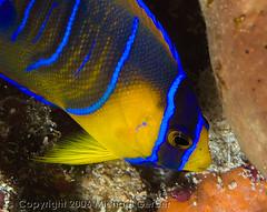 jqangel7074pcw2 (gerb) Tags: beautiful topv111 topv333 underwater scuba d100 juvenile angelfish tvp queenangel coz0206 pfo 3waychallenge 3wc 3w5 jalalspagesmarinelifealbum photofaceoffwinner pfogold