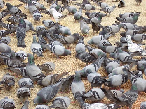 112010314 120aa33e45?v0 - ... Pigeons ...
