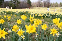 Wye Mountain Daffodil Festival (jbparker) Tags: flowers festival lenstagged published dof daffodil arkansas wye wyemountain canon28135f3556 cotcbestof2006