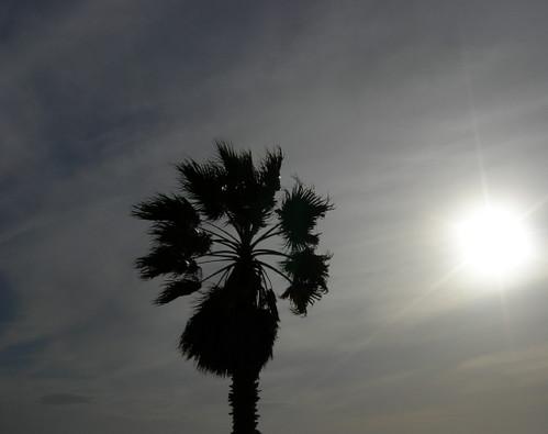 A Really Tall Palm Tree