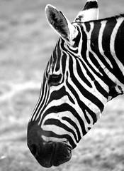 Hmm, Am I Black with White Stripes or . . . (RevMike88) Tags: africa bw animal kenya safari zebra amboseli equusburchelli notpicked 81points interestingness178 i500 explore17mar06 challengeyouwinner superhearts