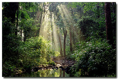 Divine rays (Tumkur Ameen) Tags: trees india nature ecology forest landscape rainforest wildlife environment algae karnataka ahmed forests kaveri coorg madikeri virajpet westernghats ghats ameen kodagu cauvery rainforests jungles brahmagiriwildlifesanctuary makutta brahmagiris ameenahmed virajpete sahayadris monsoonforests tropicalevergreenforests tropicaljungles makut barapole makuttareserveforest virajpetforestdivision