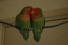 Lovebirds (rusc) Tags: birds vogels lovebirds