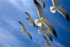 Bahamian Seagulls (evie22) Tags: blue sky seagulls bird birds animal animals clouds canon seagull bahamas thebahamas onblue bahamian mireasrealm sfchronicle96hrs