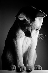 Chat Noir (bikeracer) Tags: light shadow deleteme8 portrait blackandwhite topv2222 cat pose chat noir savedbythedeletemegroup saveme10 tonkinese tungsten tonk topf100 platinum solid top20favview interestingness254 i500 explore22mar06 cmgallery3
