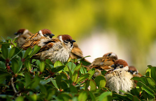sparrow chit-chat