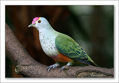 Rose-crowned Dove. (Barbara J H) Tags: birds australia doves ptilinopusregina