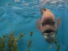 coming to get you (highglosshighs) Tags: blue fish water japan aquarium march scary tank sealife 2006 hiroshima miyajima   longweekend