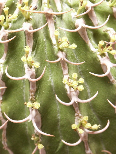 Euphorbia columnaris - photo courtesy Flickr user asac_cactus