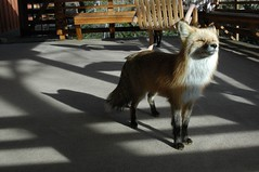 Freddy on the Porch (Rob Lee) Tags: house colorado wildlife evergreen fox freddy freddyfox