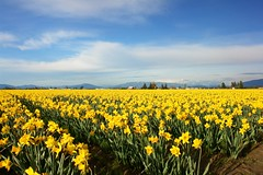 As far as the eye can see... (tollen) Tags: flowers blue sky yellow clouds ilovenature farms daffodils skagitvalley gtaggroup
