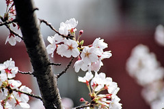 Sakura (manganite) Tags: trees white film nature colors japan cherry spring asia seasons minolta bokeh tl blossoms  cherryblossom  sakura nippon  nihon kanto tsukuba ibaraki aist march31 7000 march312006 manganite date:year=2006 date:month=march