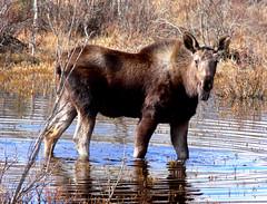 Moose - by BugMan50