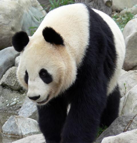 OSOS Panda..... - Página 2 126255672_a3932a1831