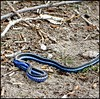 Blue snake   [M3F sumission] (Kerry Bellamy) Tags: blue grass snake manipulation bluesnake snakeingrass
