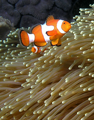Guard Duty (Nick Hobgood) Tags: underwater nemo clownfish anemonefish easttimor timorleste divetimorbobsrock nickhobgood