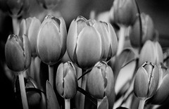 Activity's Killing the Actor (Thomas Hawk) Tags: flowers blackandwhite bw flower cemetery blackwhite tulips cemetary some tulip mountainviewcemetery natureshand