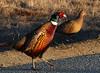 pheasant05 (Mike Rodriquez) Tags: luminosity