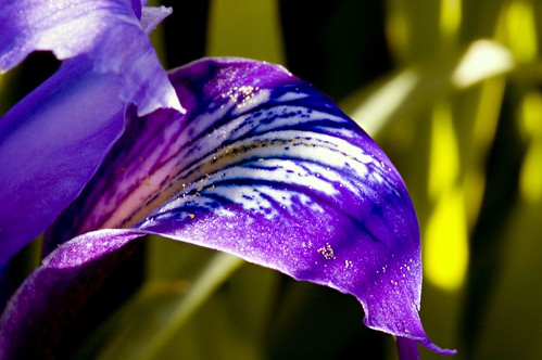 Douglas's Iris