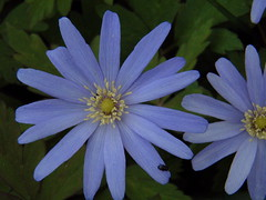 Wood anemone and beetle (crunklygill) Tags: blue flower green easter spring beetle anemone stnicholas marston memorialgarden woodanemone johnmortimer marstonelsfield tonyalison