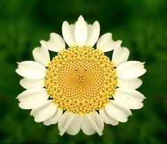The cheerful daisy (Victoriano) Tags: flowers sun flower deleteme macro delete