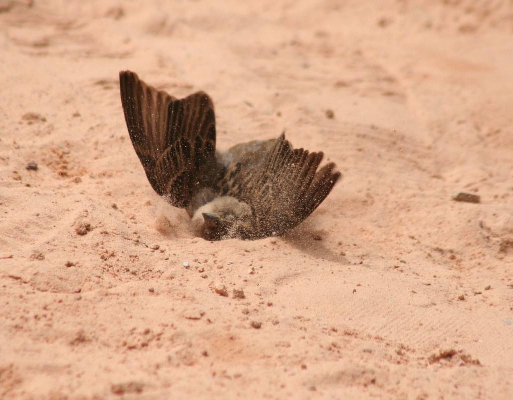 Pardal (Sparrow) 28 053 - 11