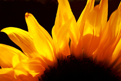 Flames of Fire (WisDoc) Tags: macro yellow canon fire flames sunflower wisdoc selectedasthebest gtaggroup goddaym1