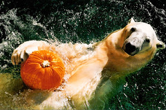 Whats the matter? You've never seen a Polar Bear with a pumpkin? (ucumari) Tags: bear animal pumpkin mammal zoo nikon north polarbear carolina polar nczoo ursusmaritimus n65 northcarolinazoo ucumariphotography
