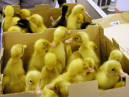 Ducks in the Mail: At the Post Office
