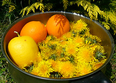 Guess what I'm making... (overthemoon) Tags: flowers orange cooking yellow fruit garden recipe switzerland interestingness spring lemon experiment dandelion explore trophy oranges dandelions vevey cheapfood pissenlits dentdelion dentsdelion thuya impressionsexpressions dandelionjam bfv1 cramaillotte disfordandelions