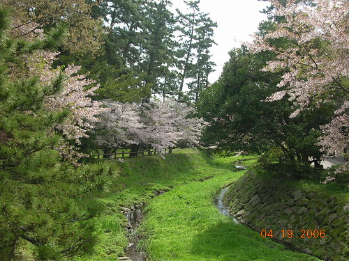 pretty Cherry trees at IzumoTaisha