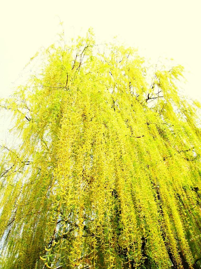 Photo: Salix vitellina var. pendula
