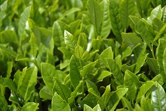 Tea Leaves (MUNEDA) Tags: plant japan   numazu tealeaf