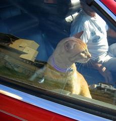 Faster ! Daddy, Faster !!!! (rainy city) Tags: car wow simba catsandwindows
