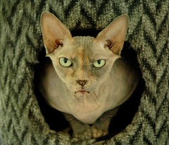 (Vina the Great) Tags: silly cat funny attitude cropped sphynx hairless nocomment annoyed allears badtemper angrycats angrykitty sarandy satansfanclub shesasweetiereally lessthanaminutelatershewasalloverme wasitsomethingisaid superbmasterpiece beyondexcellence