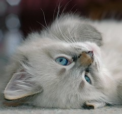 Hello... I love my life! (Buntekuh) Tags: cats pets topf25 animals blueeyes gatos kitties katzen nevamasquerade siberiancat joschi