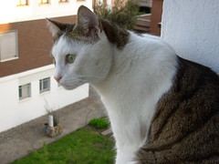Fusillo ha visto qualcosa... (*DaniGanz*) Tags: white cute window cat kitten tabby kitty finestra ledge windowsill gatto bianco micio occhiverdi cutecatphotos davanzale fusillo catsandwindows biancoetigrato tigrato greeeyes daniganz