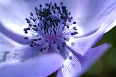 the world of purple (yoshiko314) Tags: flower macro purple 100v10f petal anemone stamen  colseup 55mmf28aismicro