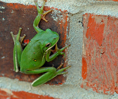 Red Brick Green Frog (Jeff Clow) Tags: ilovenature texas amphibian frog explore urbannature dfw payitforward sigma105mm jeffclow urbannatureblog nikonstunninggallery specanimal top20green