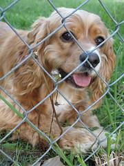Ginger (Betty Sue) Tags: dog pet ginger jasper cutie spaniel cocker cockerspaniel