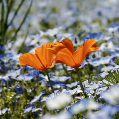 Orange in Blue (shinichiro*) Tags: 15fav flower color japan 1025fav 510fav 100v tokyo order d70 2006 2550fav 600v 50100fav 200v crazyshin 500v 0503 1on1 700v 300v 500x500 1000v 400v 2000v 900v 800v 1500v 2500v 1on1flowers 1on1nature syowamemorialpark exp003 order500 order20101106
