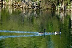 Goose Train (Gini~) Tags: bird animal goose canadagoose brantacanadensis