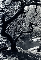 Japanese Maple, Winter (Zeb Andrews) Tags: trees winter bw 15fav snow cold film oregon wow portland pacificnorthwest rodinal nikonfm2 bluemooncamera nikkor28mm28 utmtapjg zebandrews zebandrewsphotography