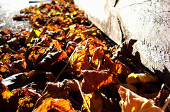 Dead Leaves and the Dirty Ground (Lachlan Hardy) Tags: wood autumn red gold lyrics song deadleaves australia melbourne vic sleeper whitestripes cliftonhill thewhitestripes thecommute pc3068 20060504